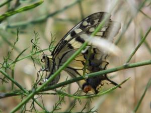 Schmetterling von D. Schönfeld